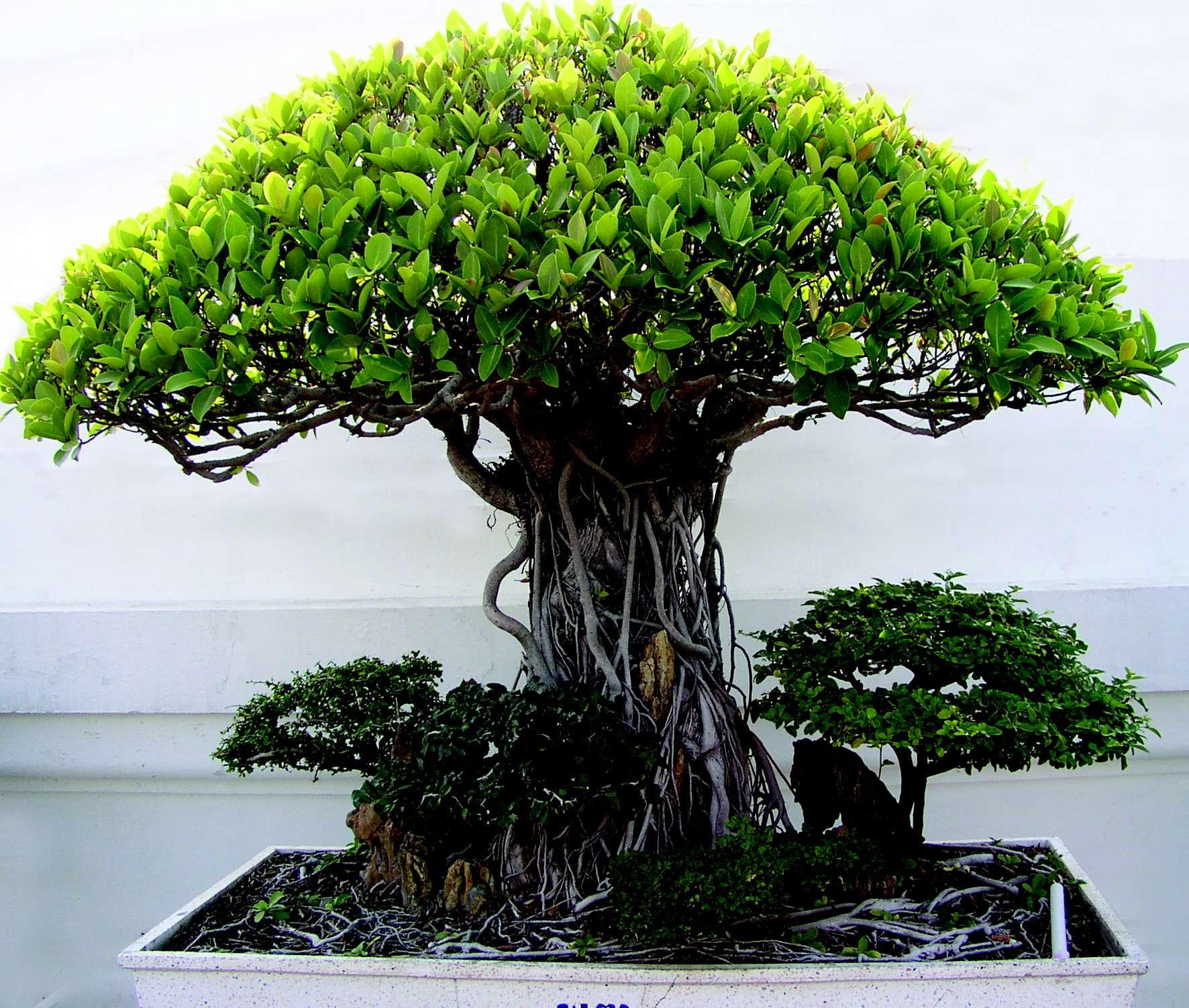 Resultado de imagem para imagens de bonsai de frutas